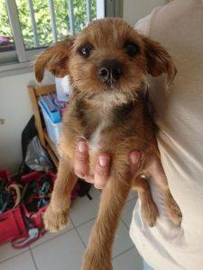 tiny yorkie pup