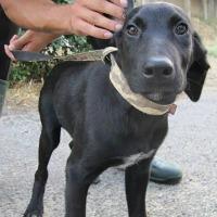 Bolt male black shepherd cross puppy