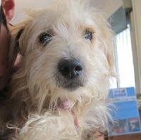 Chappie male yorkie cross with a special need