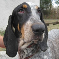 Darby male Blue de Jura