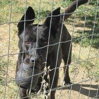 Lili female black shepherd cross