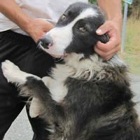 Roucky male border collie