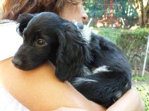 spaniel puppy