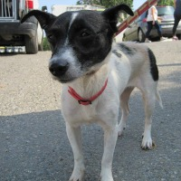 Carmen female jack russell cross