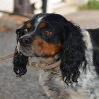 Clifford young male Brittany spaniel cross