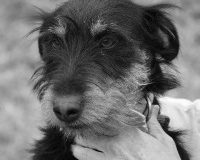 Pador male jagd terrier