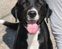 Pica female labrador cross