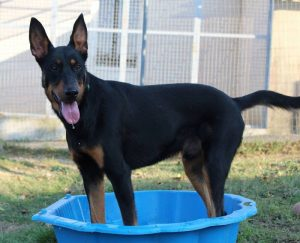 big black and brown dog in paddling pool