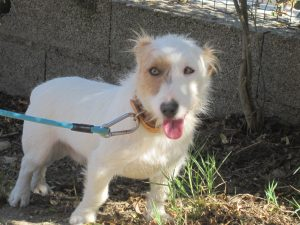 small white JRT