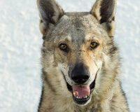 Artos male Czech wolf dog
