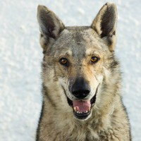 Artos male Czech wolf dog