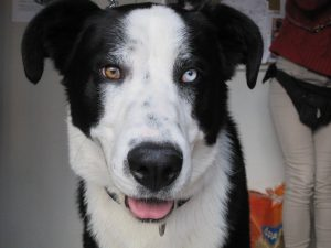 big black and white dog with one blue and one brown eye