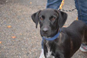 black dog with long-ish ears