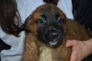 brown pup with black muzzle