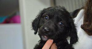 Black spaniel puppy