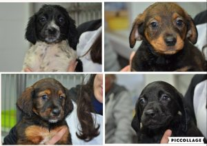 Collage of four puppies