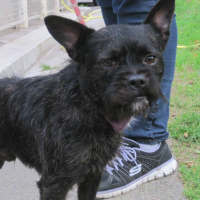 Ades male French Bulldog cross