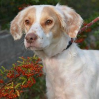 Citrouille young female spaniel cross