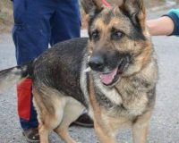 Helda female German Shepherd