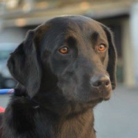 Noelle young female labrador cross