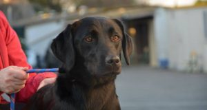 black lab cross