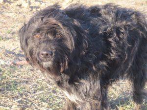 hairy black dog