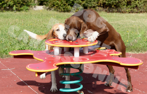two dogs eating biscuits off a table