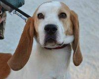Babar male beagle cross