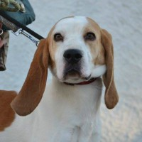 Babar male beagle cross