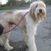 Benji young male bearded collie