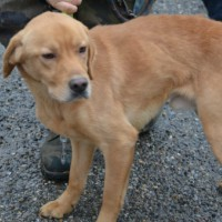 Gustav male labrador spaniel cross