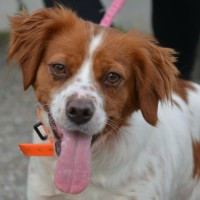 Looba female Brittany spaniel cross