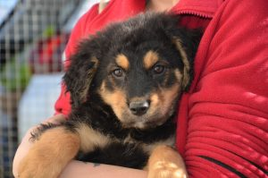 black and tan pup