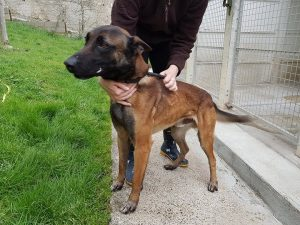 malinois cross