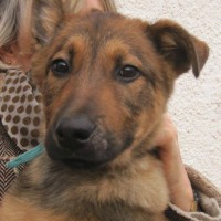 Neymar young male malinois cross