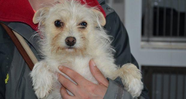 small fulffy bichon type dog