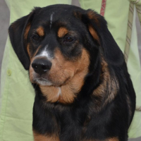 Bridou young male cross