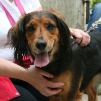 Annick female spaniel cross