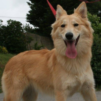 Duchess female collie retriever cross
