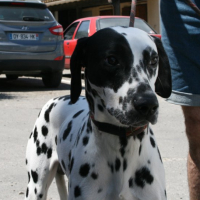 Oreo young male dalmation