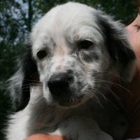 Bounty setter pup