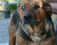 Mattie mature female shepherd cross