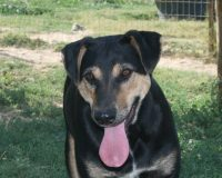 Trudy female shepherd cross