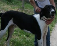 Twig young male pointer cross
