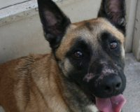 Aelis female Malinois cross