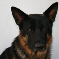 Lasko male  German shepherd