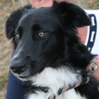 Obiwan male border collie