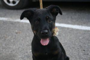 beauceron pup