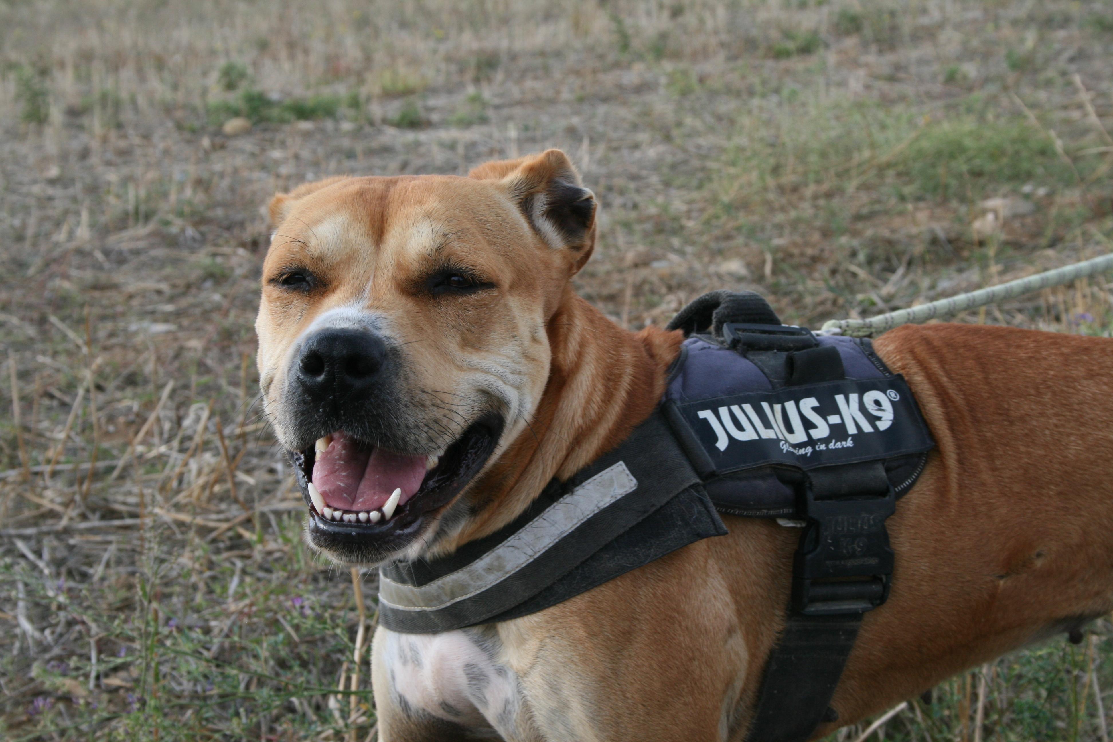 pale brown staffie type dog