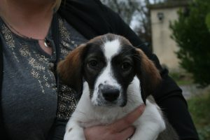 tricoloured puppy